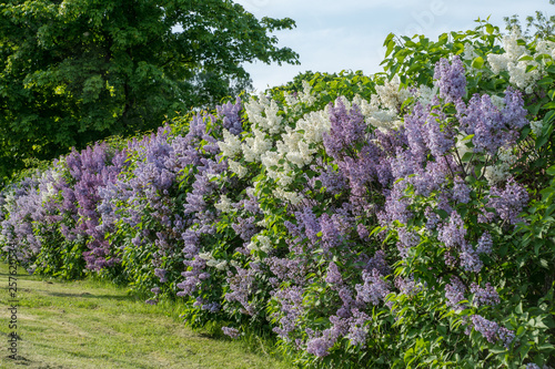 Valokuva Hedge with white and purple lilac in summer sunlight