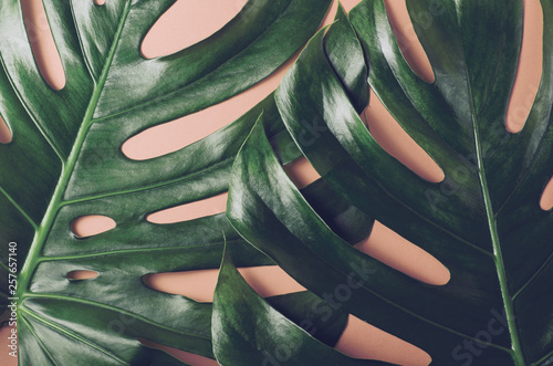 Fotografia, Obraz Big monstera leaves