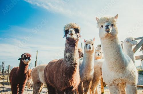 Fototapeta Group of cute alpacas in outside looking