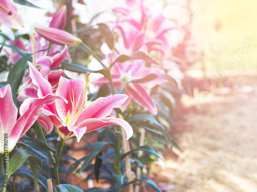 Slika na platnu Close up Pink lily flower at farm.