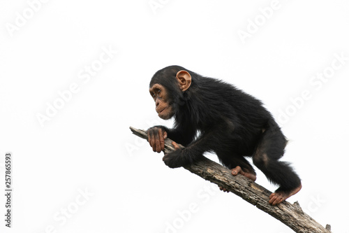 Fotografia chimpanzee on a branch, isolated with white background
