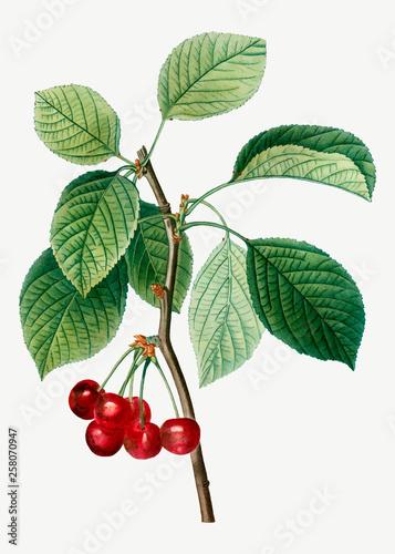 Foto Cherry tree branch