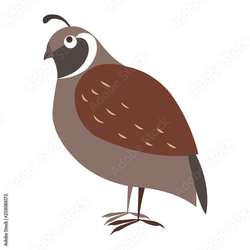 Fotografie, Obraz Funny cuty brown california quail vector sticker or icon isolated on white
