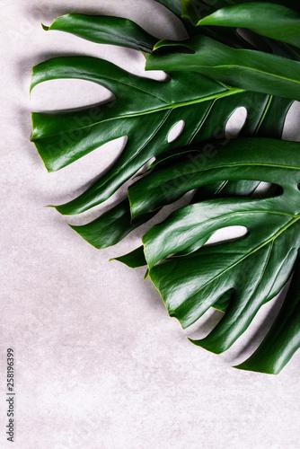 Fotografiet Close up of tropical monstera leaf