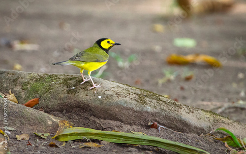Fototapeta A male hooded warbler (Setophaga citrina) foraging near the ground in Belize