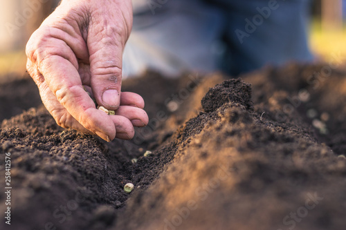Photo Farmer´s hand planting seed of green peas into soil