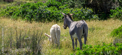 Foto Small white donkey and adult donkey in wild nature going side by side into dista