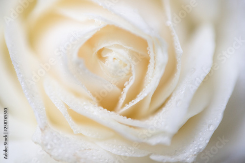 Wallpaper Mural soft focus macro photo of white rose with dew drops