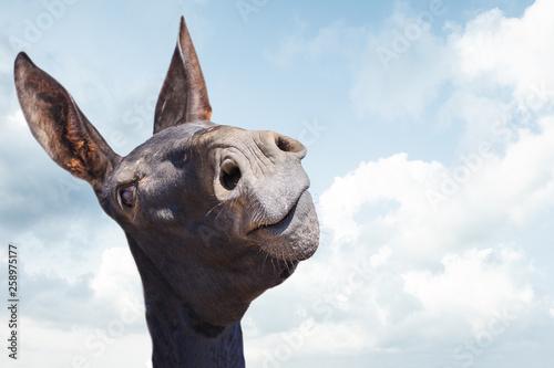 Fotografia Funny black donkey smiling on blue sky