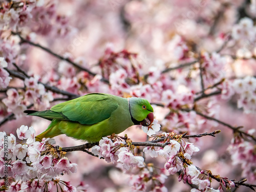 Fotografie, Obraz rose ringed parakeet in Japanese sakura tree 43