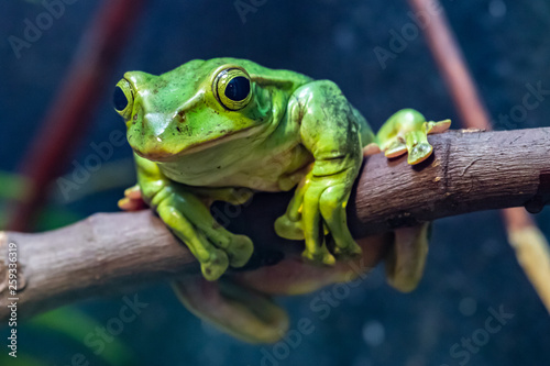 Tablou Canvas Tree frog in tree