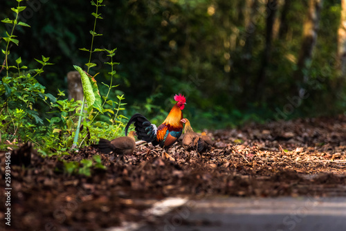 Tablou Canvas The Red Jungle fowl of Nature in Thailand