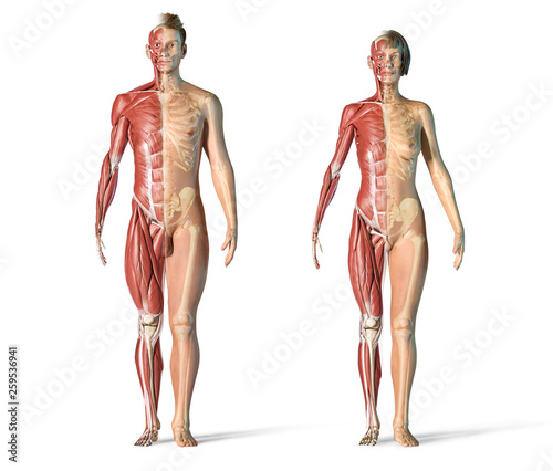 Photo Man and woman muscle and skeletal systems.