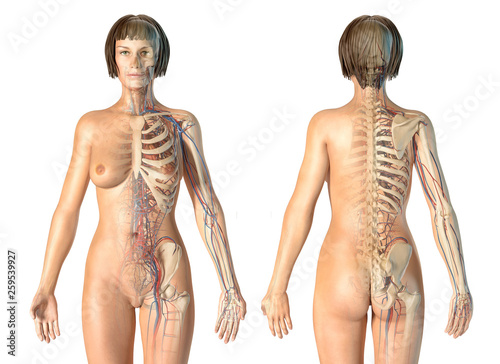 Canvas Woman anatomy cardiovascular system with skeleton, rear and front views