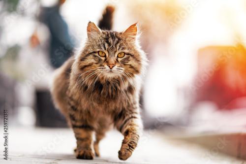 Slika na platnu Photo of walking unhappy ginger homeless cat.