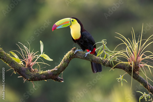 keel-billed toucan (Ramphastos sulfuratus) on a branch with a bromelia