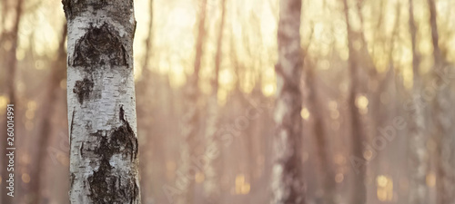 Fotografiet Close view of birch trunk. Nature background.