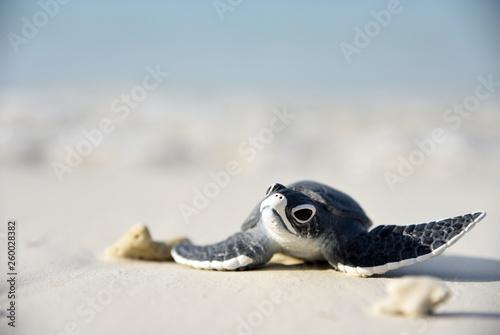 Fotografia Little turtle on a white beach