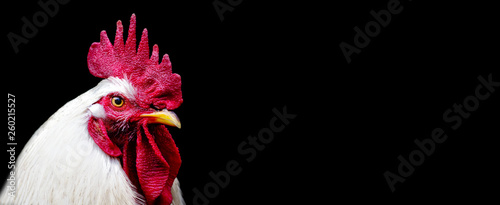 Cuadros en Lienzo head white Rooster Chicken isolated on a black background