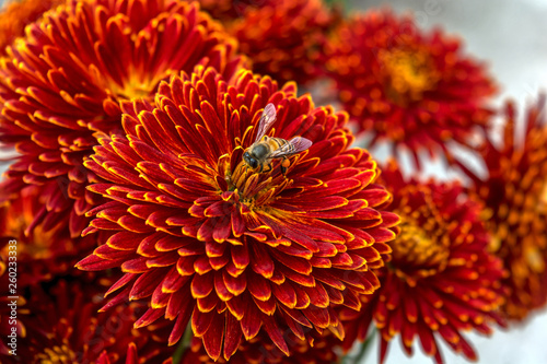Obraz na plátne A bee collecting pollen from a deep red with yellow edge Chrysanthemum flower