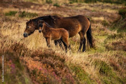 Fotografia Wild Exmoor Ponies, seen on Porlock Hill in Somerset, England, UK