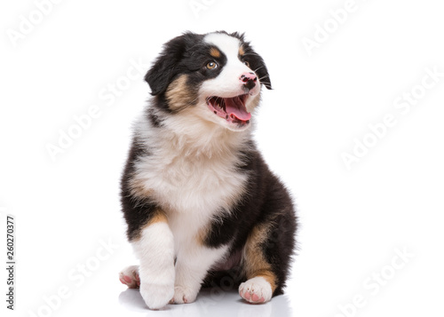 Canvas Beautiful happy Australian shepherd puppy dog is sitting frontal and looking upw
