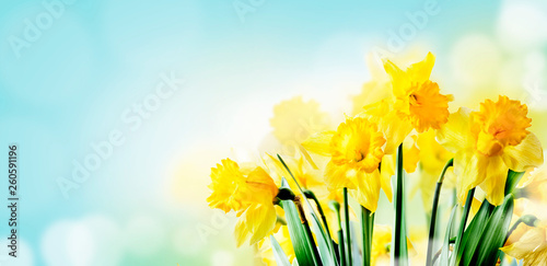 Closeup of beautiful spring daffodil bunch in garden with sunlight and bokeh sky background Fototapet