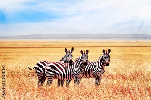 Grupa dzikie zebry w afrykańskiej sawannie przeciw pięknemu niebieskiemu niebu z chmurami. Wildlife of Africa. Tanzania. Park Narodowy Serengeti.