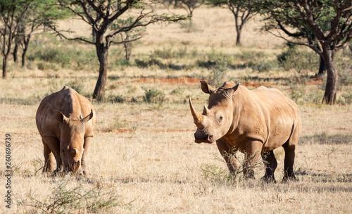 Canvas Print White Rhino Pair