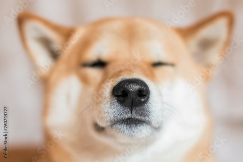 Photographie Close up portrait of a Shiba inu dog