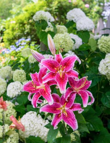 Fotografía Stargazer lilies blooming in the home garden.
