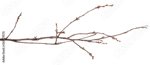 Foto Dry branch of the fruit tree. Isolated on white background