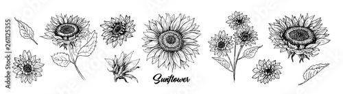Fotografie, Obraz Sunflower hand drawn vector collection