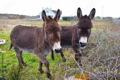 Valokuva Donkeys have long ears, dark rings around their eyes and shaggy coats