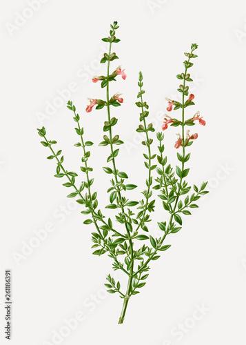 Fototapeta Cat thyme plant