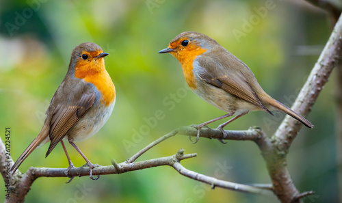 Canvas Print Red Robin (Erithacus rubecula) birds close up in a forest