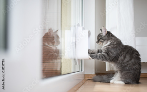 Foto blue tabby maine coon kitten standing in front of cat flap