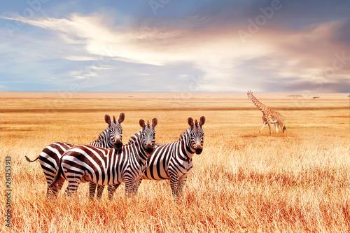 Grupa dzikich zebr i jiraffe w afrykańskiej sawannie przed pięknym zachodem słońca. Wildlife of Africa. Tanzania. Park Narodowy Serengeti. Afrykański krajobraz.