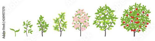 Fotografia, Obraz Cherry tree growth stages