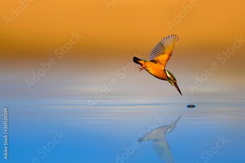 Fotografie, Obraz Amazing bird Kingfisher