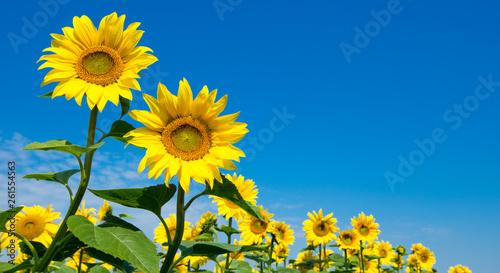 Fotografia sunflower over cloudy blue sky