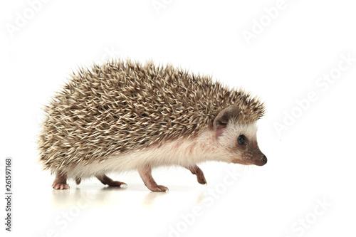 Fototapeta An adorable African white- bellied hedgehog walking on white background