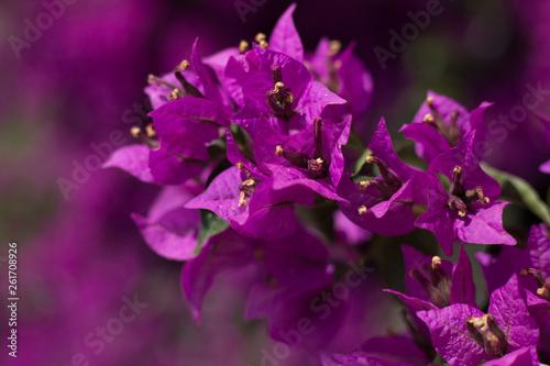 Cuadros en Lienzo Closeup image of purple bougainvillea flowers