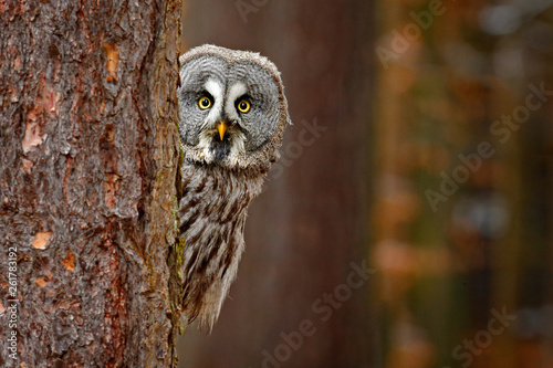 Fototapeta Portrait of Great grey owl, Strix nebulosa, hidden behind tree trunk in the winter forest, with yellow eyes