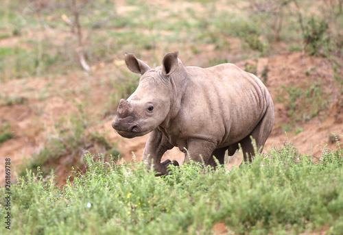 Obraz na płótnie baby rhino in Kruger National Park;