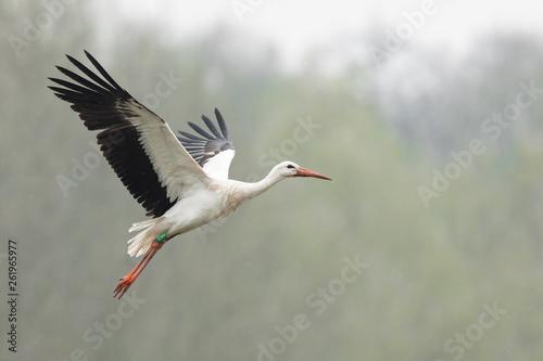 Fotografia White stork in the rain