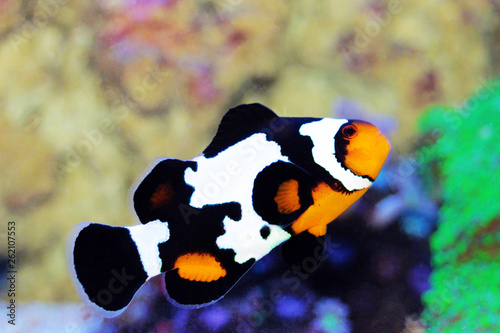 Photo Black Ice Snowflake Ocellaris Clownfish - Amphiprion ocellaris