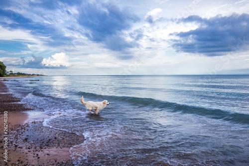 Fotografia Dog running into Lake Michigan on a summer day