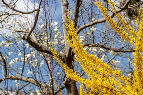 Large blooming forsythia bush blooming in the spring garden Fototapet