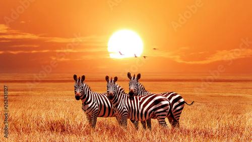 Afrykańskie zebry przy pięknym pomarańczowym zmierzchem w Serengeti parku narodowym. Tanzania. Dzika przyroda Afryki.